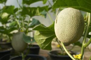Chiva-Som - Organic Garden Cantaloupe